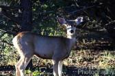 Mule Deer Ridgway Colorado
